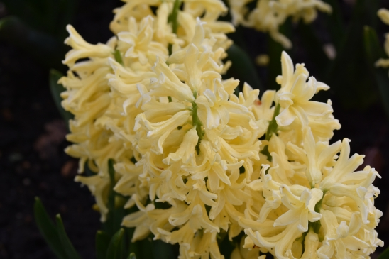 Hyacinth Yellow Queen