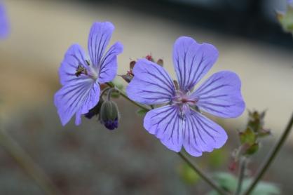 Geranium libanii