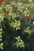 Saxifrage Lemon Spires