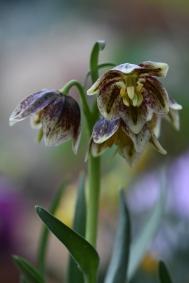 Fritillaria biflora x purdyi