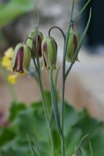 Fritillaria graeca subsp thessala