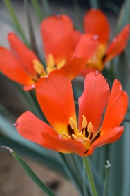 Tulip vvedenskyi
