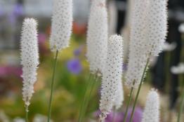Bulbinella graminifolia