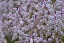 Lachenalia latimerai