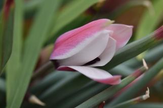 Tulip Peppermint Stick