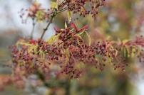 Acer palmatum Kosmino