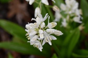 Scilla liliohyacinthus Alba