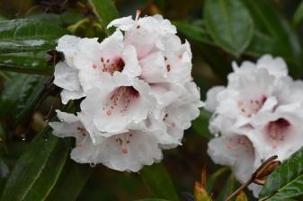 Rhododendron x arboreum calophytum