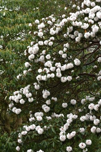 Rhododendron x arboreum calophytum Champion Tree