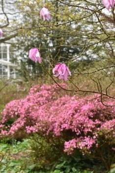 Magnolia sargentiana var robusta