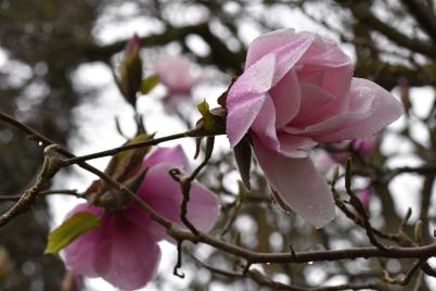 Magnolia Atlas
