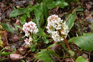 Bergenia White Flowered