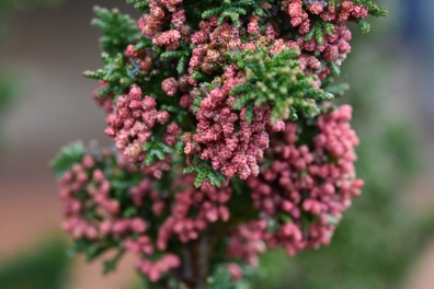 Chamaecyparis lawsoniana Little Spire
