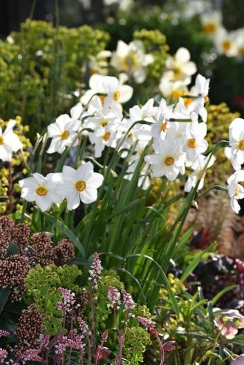 Backlit, Narcissus poeticus