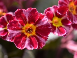 Primula Dark Rosaleen