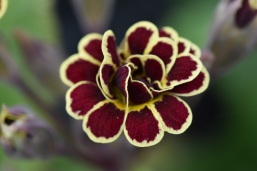 Primula Elizabeth Killaley
