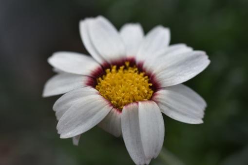 Rhodamthemum Tizi-n-tichka