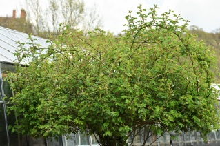Rosa multiflora Platyphylla or Seven Sisters