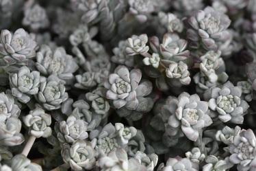 Sedum spahthulifolium Cappa Blanca