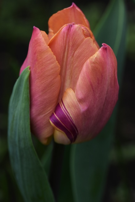 Tulip Salmon Dream