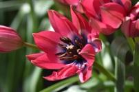 Tulip Little Beauty