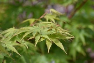 Acer japonica Senkaki