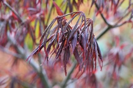 Acer japonicum Nagashi Mastumurae Group