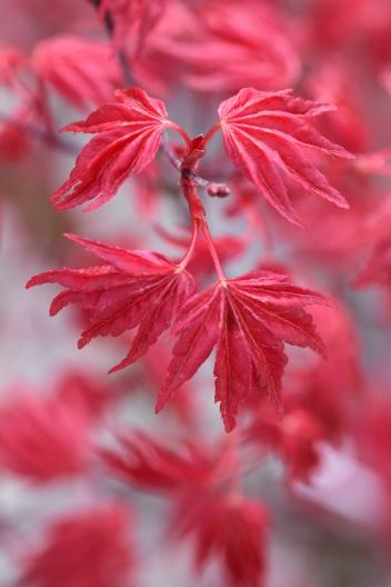 Acer palmatum Beni Maiko