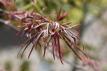 Acer palmatum Beni Otake