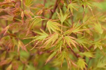Acer palmatum Crippsii
