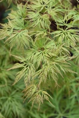 Acer palmatum dissectum Emerald Lace
