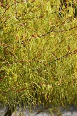 Acer palmatum dissectum Koto-ito-komachi