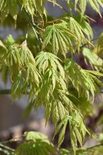 Acer palmatum Omarayama