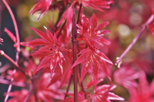 Acer palmatum Shindeshojo