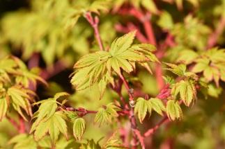 Acer palmatum WInter Flame