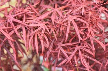 Acer Starfish
