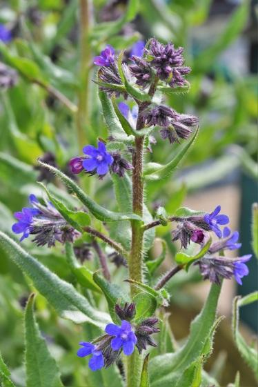 Anchusa azurea Dropmore