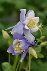 Aquilegia Virginia