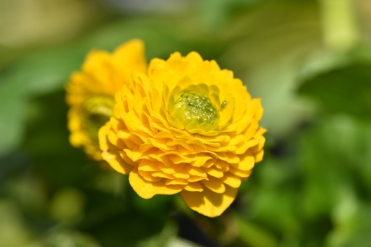 Caltha palustris Pleno
