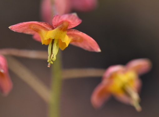 Epimedium Ellen Willmott