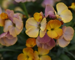 Erysimum Rysi Copper
