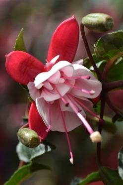 Fuchsia Britney
