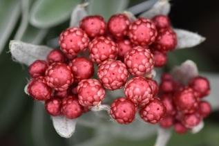 Helichrysum Ruby Cluster