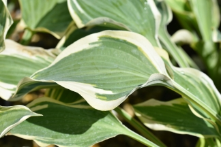 Hosta Dark Star