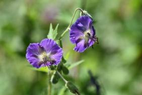 Geraneum phaeum Langthorne's Blue
