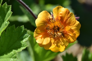 Geum Georgenburg