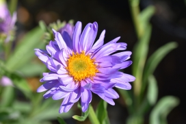 Aster Light Blue