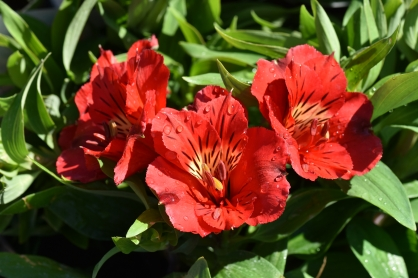 Alstroemeria Princess Kate