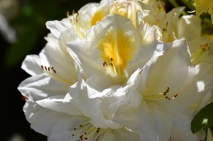 Rhododendron Persil