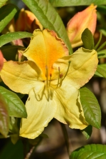 Azalea Golden Sunset